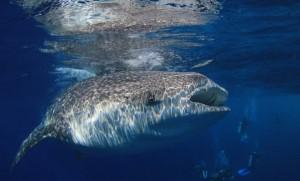 ดำน้ำสบตาฉลามวาฬ....ยักษ์ใหญ่ใจดีที่ Oslob เกาะเซบู