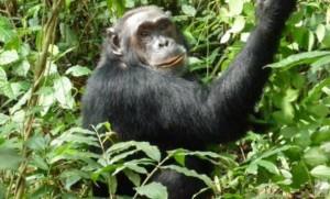 แกะรอยชิมแปนซีที่ยูกันดา