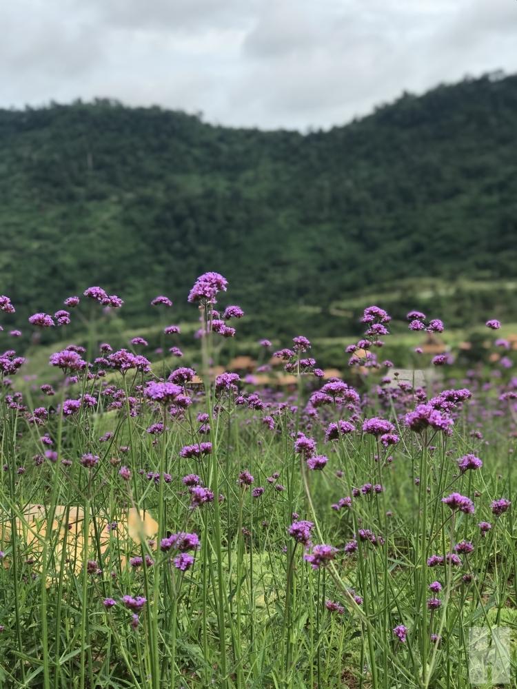 flower Khao Kor